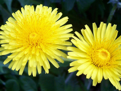 bright yellow dandelions