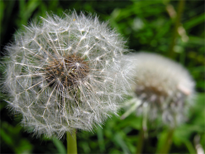 white puffy dandelions ready to spread seeds