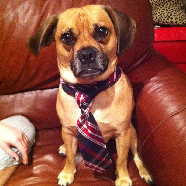 My puggle Quasi sitting on the couch wearing a red/black tie with a trinity knot