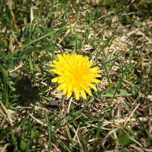 Fresh dandelions / still free of persecution / smile up at the sun