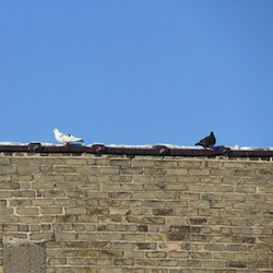 a white bird and black bird sit on a corner of a rooftop looking away from each other
