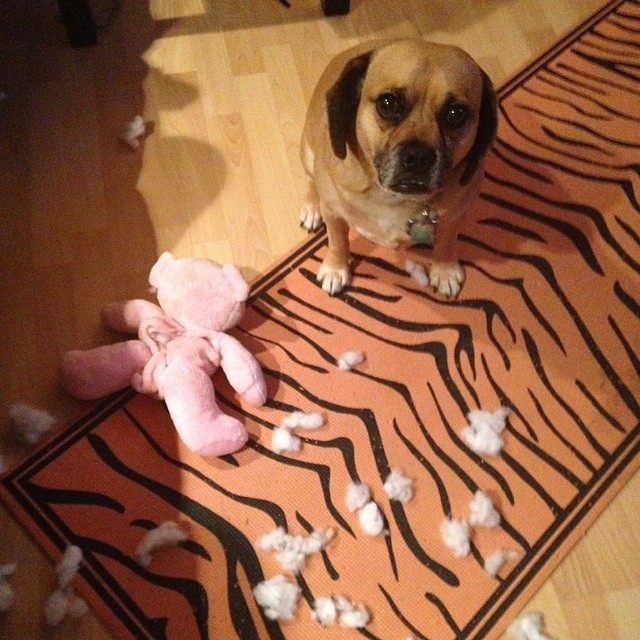 Quasi after killing a stuffed pig
